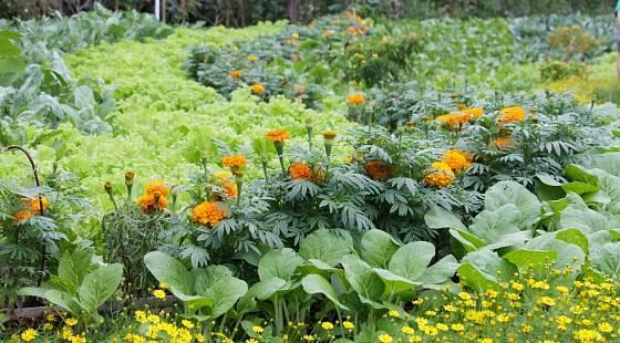 Aksamitník zkrášlí zeleninové záhony a ozdraví půdu