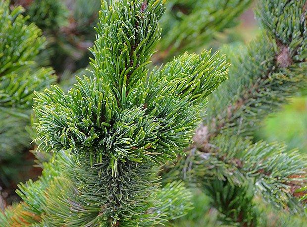 Borovice osinatá (Pinus aristata)