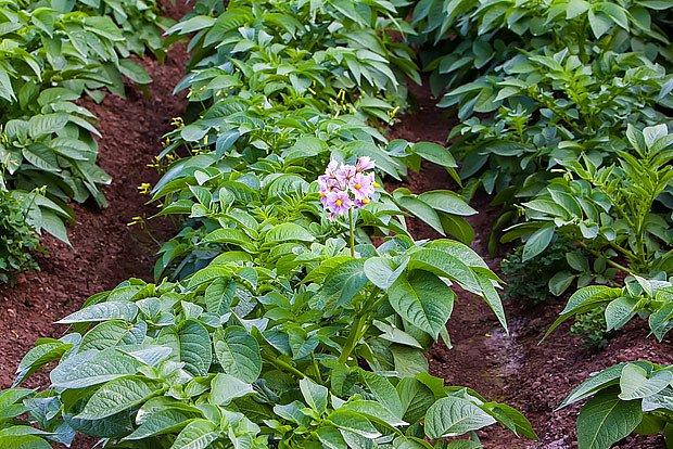 bramborový záhon
