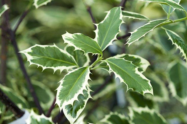 cesmína ostrolistá (Illex aquifolium), Handsworth New Silver