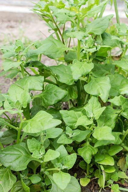 Vzrostlý špenát čtyřboč (Tetragonia expansa) je mohutná rostlina