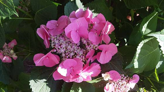 Při nesprávné péči hortenzie nerozvine plná květenství