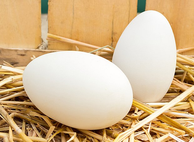 husí vejce