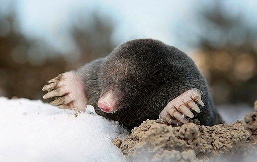 krtkovi je v podzemí dobře v létě i v zimě