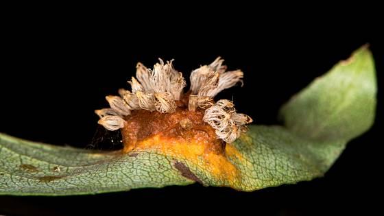 letní výtrusy na listu hrušně