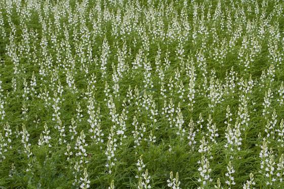 Na zelené hnojení můžeme využít i lupinu bílou (Lupinus albus).