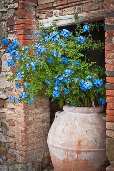 Olověnec, Pulbago, patří mezi atraktivní a vděčné přenosné rostliny