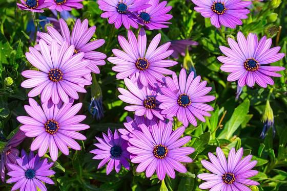 Fialová barva květů kapské kopretiny je nejtypičtější a snad i nejoblíbenější.