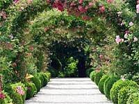 popínavé (pnoucí) růže