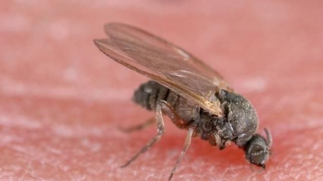 Muchničky jsou černé mušky, které dorůstají až do velikosti 5 mm a mají poměrně velkou hruď.