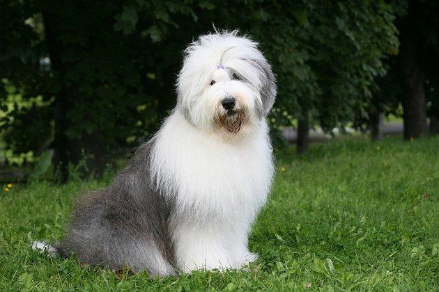 Bobtail je skvělým psím společníkem nejen pro děti i pro dospělé.