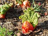 Reveň kadeřavá (Rheum rhabarbarum), čili rebarbora.