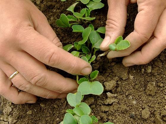 Semenáčky ředkviček musíme včas vyjednotit, aby měly prostor pro další růst.