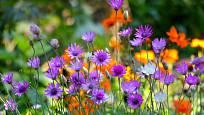 Květy mají nejčastěji fialovou, růžovou nebo bílou barvu.