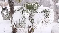 Trachycarpus fortunei zimu snáší