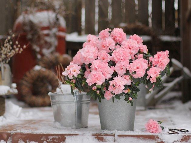 Nádherně kvetoucí azalky mají rády chlad, ale nesmí být vystaveny mrazu.