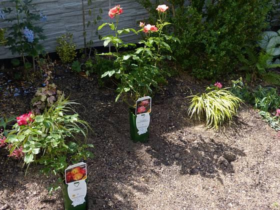 Plánování výsadby růží přímo na záhonu: v pozadí a tráva rákosovka velká (Hakonechloa macra)