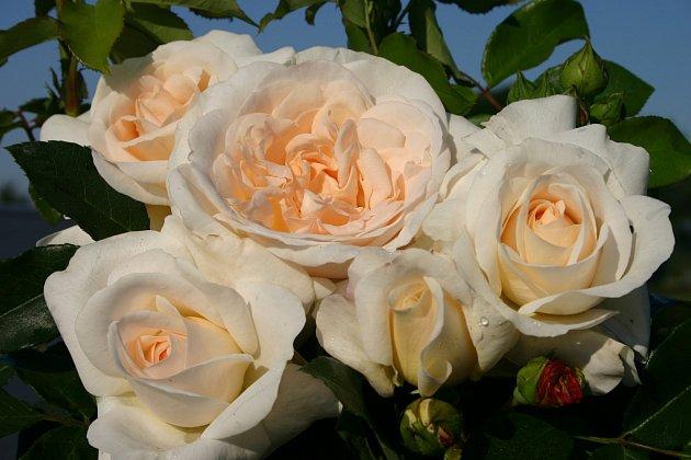 mnohokvětá růže, odrůda Kosmos
