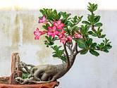 Kvetoucí Adenium, známé jako pouštní růže.