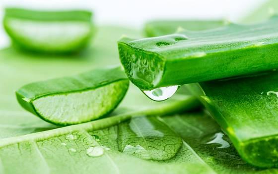 Rosolovitá hmota získaná z čerstvého listu Aloe vera má intenzivní léčebné účinky.