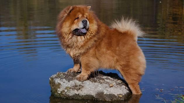 Psi plemene čau-čau vodu v lásce příliš nemají.