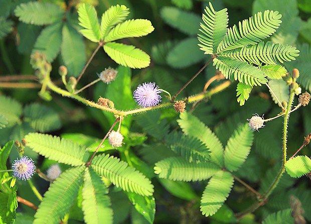 citlivka stydlivá (Mimosa pudica)