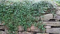 Zvěšinec zední, drobná převislá rostlinka vhodná do suchých zídek