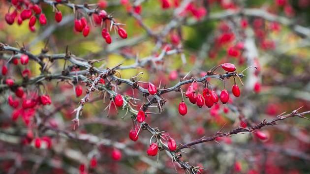 Plody dřišťálu zdobí zahradu na podzim i v zimě