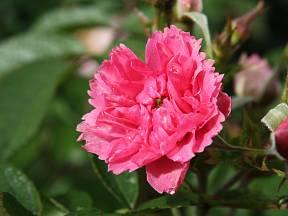 Sadová růže, odrůda J. Grootendorst