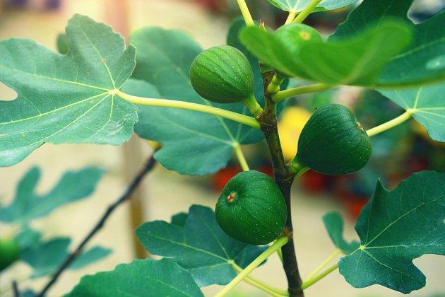 smokvoň, fíkovník se zrajícími plody