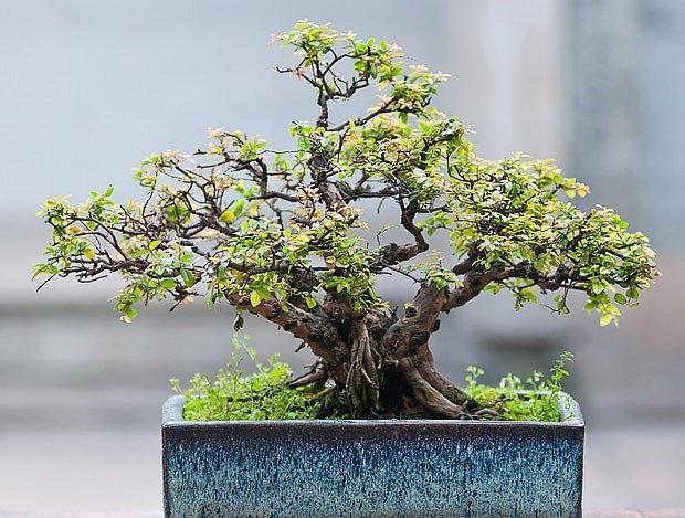 fíkusový bonsaj Ficus microcarpa