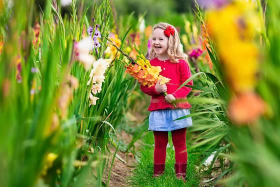 Některé odrůdy gladiol mají skutečně dlouhá květenství.