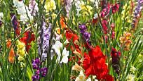 Na záhonu můžeme pěstovat gladioly v různých barvách.