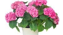 Hortenzie s růžovými listeny, bohatě nakvetlá.