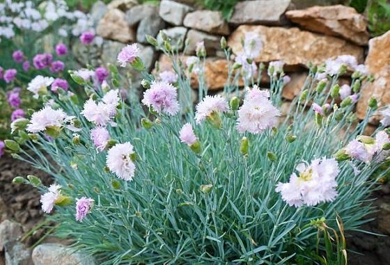 Skalkové hvozdíky jsou ideální rostliny pro suchou zídku