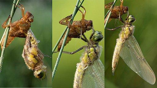líhnutí vážky