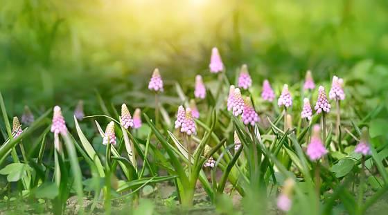 Modřence (Muscari) nabídnou nejen nebesky modrou barvu, ale mohou mít i růžové nebo bílé květy.