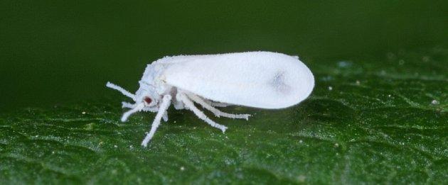 molice vlaštovičníková (Aleyrodes proletella)