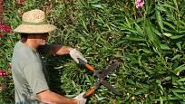 Ve středozemí rostou oleandry bujně a tomu odpovídá i jejich řez.