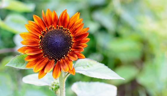 Slunečnice nabízejí veliký efekt za poměrně málo práce