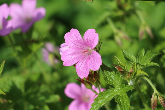 Wargrave Pink Geranium endressii