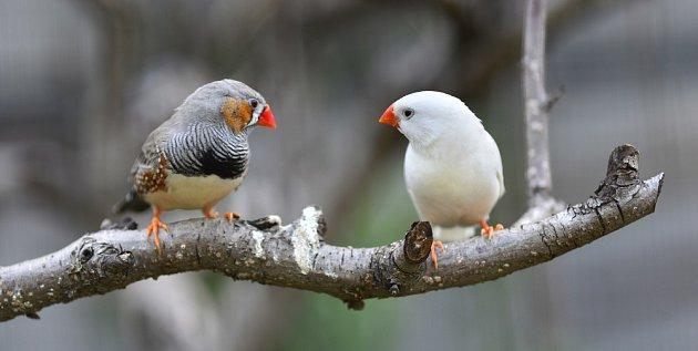Pár zebřiček pestrých - samečka poznáte velmi snadno.