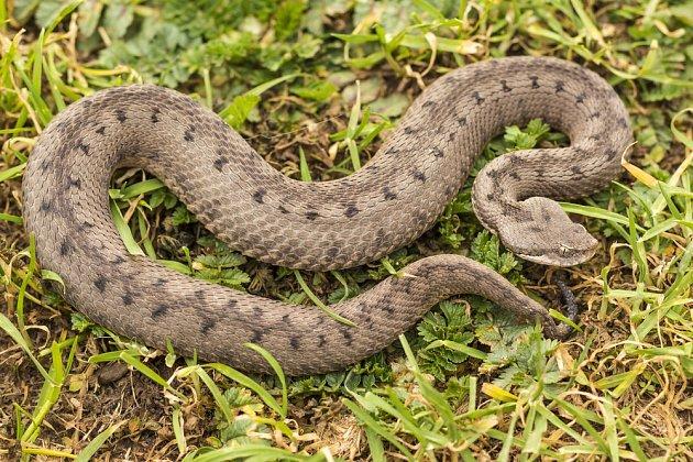 zmije jedovatá