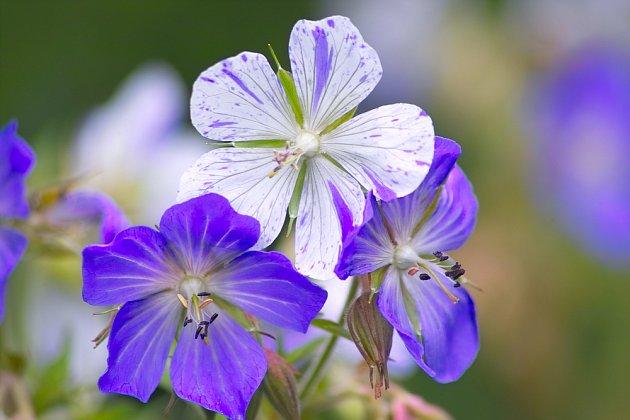Geranium pratense Striatum.