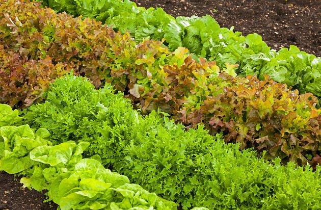 Saláty k řezu listů lze pěstovat po celou sezónu