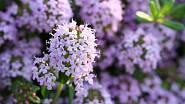 Mateřídoušku lze pěstovat v řadě zahradních variací