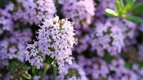 Mateřídoušku lze pěstovat v řadě zahradních variet, léčivé silice obsahují rovněž