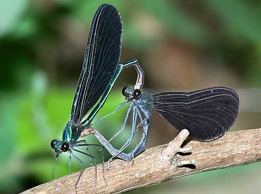motýlice modrá