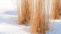 Okrasné trávy patří k ozdobám zahrady i v zimě.