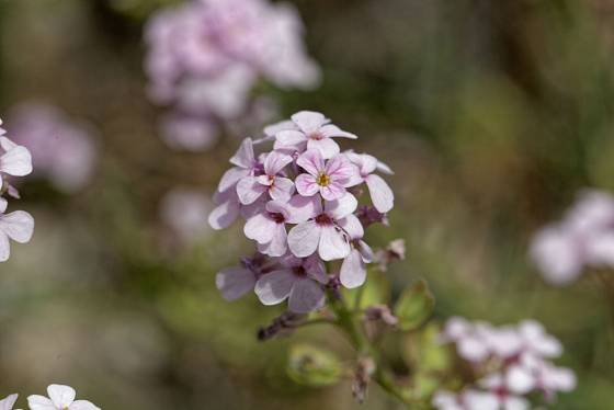 Sivutka velkokvětá (Aethionema grandiflora) patří ke stálezeleným skalničkám.